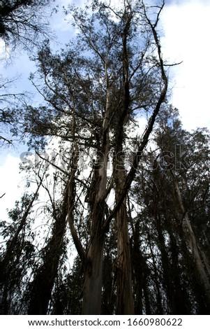 Eucalyptus forest in Paderne, Galicia by Fermín Tamames Stok fotoğraf ©