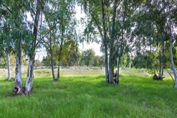 Eucalyptus forest with green grass covered ground on a sunny day with a flock of sheep grazing. Israel