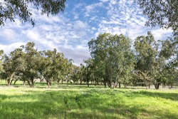 Eucalyptus forest with green grass covered the ground on a sunny day against a sky with clouds. Israel