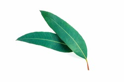 Eucalyptus green leaves isolated on white background. top view