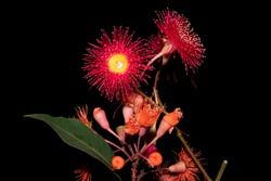 Eucalyptus gum flowers isolated on black background. Mix of Corymbia ficifolia (Wildfire) and Corymbia ficifolia (Red flowering Gum)
