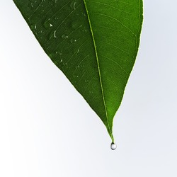 Eucalyptus leaf in detail
