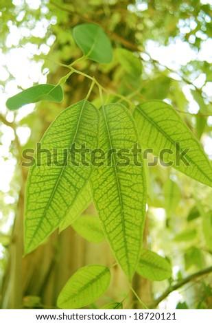 Eucalyptus leaf macro