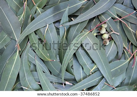Eucalyptus leaves and gum nuts form a full-frame background.