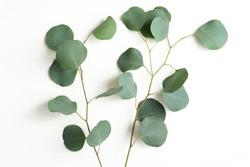 Eucalyptus Leaves Isolated on White Background