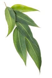 Eucalyptus leaves isolated on white background. Large file.
