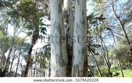 Eucalyptus tree body close up Stok fotoğraf ©