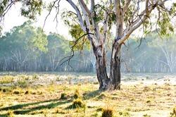 Eucalyptus tree in paddock, New South Wales, Australia
