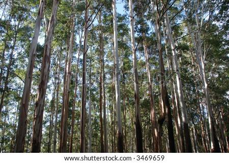 Eucalyptus trees, Nilgiri hills, tamil nadu