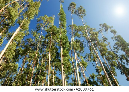 eucalyptus trees on the background of blue sky