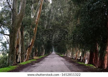 Eucalyptus Trees Road in Gokova, Turkey Stok fotoğraf ©
