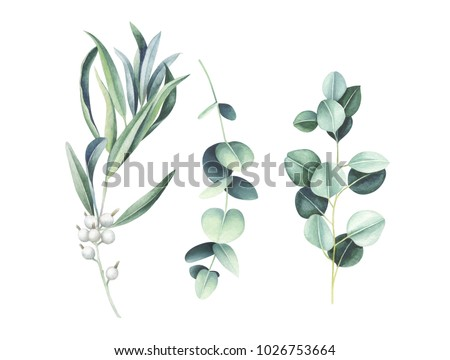 Eucalyptus & wild olive branches isolated on white background. Elegant floral elements. Watercolor hand drawn illustration.