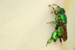 Euglossini, commonly known as orchid bees or euglossine bees
