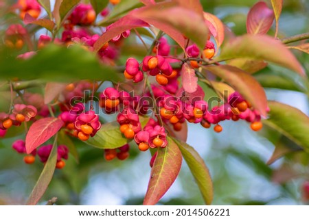 Euonymus europaeus european common spindle capsular ripening autumn fruits, red to purple or pink colors with orange seeds, autumnal colorful leaves Foto d'archivio ©