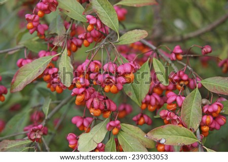 Euonymus europaeus, known as spindle, and also as European spindle and common spindle, is a deciduous shrub or small tree in the family Celastraceae, native to much of Europe. Stock foto ©