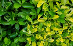 Euonymus 'Green Rocket' and 'Emerald 'n' Gold' hedging plants