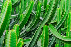 Euphorbia Canariensis - canary island typical cactus background. Vibrant green juicy exotic plant. Tropical backdrop in soft focus