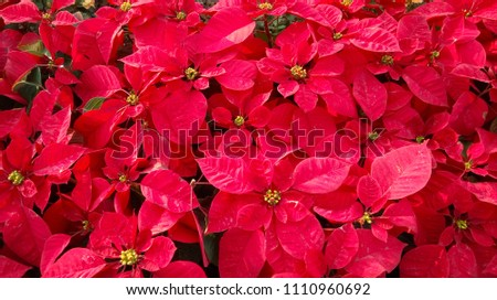 Euphorbia pulcherrima, Beautiful Red Christmas Plants