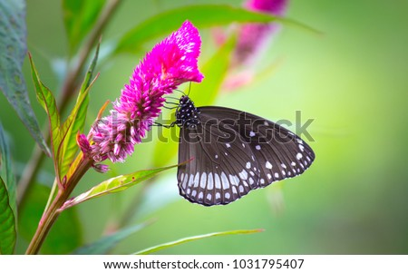 Euploea core, the common crow, is a common butterfly found in South Asia and Australia. In India it is also sometimes referred to as the common Indian crow, and in Australia as the Australian crow.