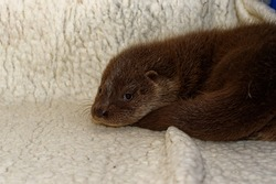 Euraopean Otter (Lutra lutra) Cub,abandoned orphan in care.