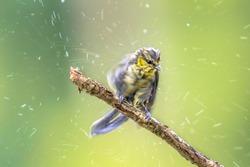 Eurasian blue tit (Cyanistes caeruleus) bird shaking off water drops after bathing
