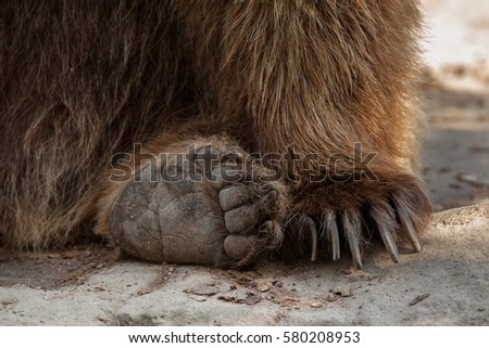Eurasian brown bear (Ursus arctos arctos), also known as the European brown bear.  #580208953