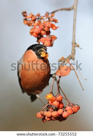 Eurasian Bullfinch - Pyrrhula