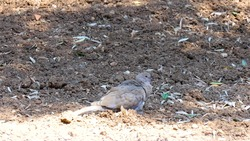 Eurasian Collared Dove Bird animal stands and sleeping on the ground looks very beautiful.