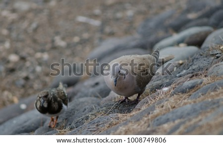 Eurasian collared dove (Streptopelia decaocto) and ruddy turnstone (Arenaria interpres). Playa de Arinaga. Agüimes. Gran Canaria. Canary Islands. Spain. #1008749806