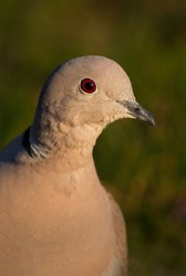 Eurasian Collared Dove - Streptopelia decaocto, portrait of common dove from European forests and woodlands, Zlin, Czech Republic.