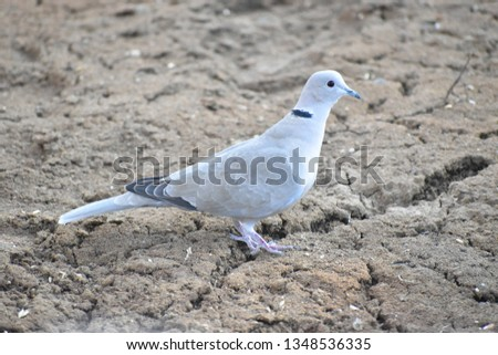 Eurasian Collared Dove - Turtle Dove #1348536335