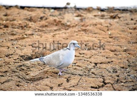 Eurasian Collared Dove - Turtle Dove #1348536338