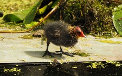 Eurasian Coot with a newborn chick swimming in the water