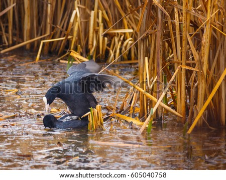 Eurasian coots mating by their nest in the swamp