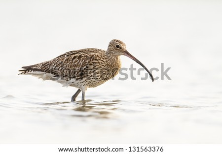 Eurasian Curlew-  Numenius arquata on white background