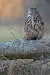 Eurasian eagle-owl (Bubo bubo), adult female hooting, Sumava National Park, Bohemia, Czech Republic