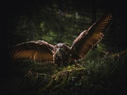 Eurasian eagle-owl (Bubo Bubo) in forest. Eurasian eagle owl landing under the tree. Owl flying in forest.