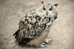 Eurasian eagle-owl (Bubo bubo) is sitting on the sand. Detail of the biggest european owl. Dominant adult owl watching attentively. Wild bird predator with big orange eyes