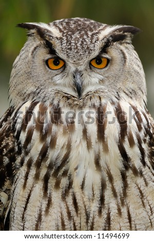 Eurasian eagle owl (Bubo bubo) looks straight at the viewer.