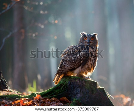 Eurasian Eagle Owl (Bubo Bubo) sitting on the stump, close-up, wildlife photo.