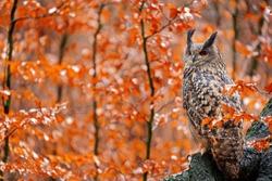 Eurasian Eagle Owl, Bubo Bubo, sitting tree trunk, wildlife fall photo in the wood with orange autumn colours, Germany. Autumn orange wildlife, detail portrait of owl in the forest. Bird habitat.