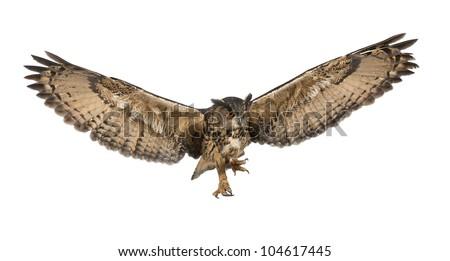 Eurasian Eagle-Owl, Bubo bubo, 15 years old, flying against white background
