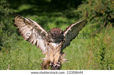 Eurasian Eagle Owl Flying with Claws Out
