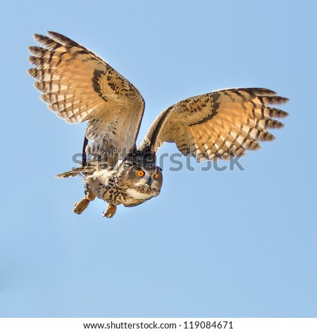 Eurasian Eagle Owl in flight going for prey. Eyes look intense at the target.