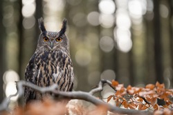 Eurasian eagle-owl on the tree branch with trees and blurred lights in the background.