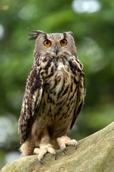 Eurasian Eagle Owl Perched on Thick Tree Branch/Eagle Owl/Eagle Owl (bubo bubo)