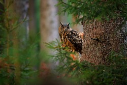 Eurasian Eagle Owl with big orange eyes, Germany. Bird in autumn wood, beautiful sun light between the trees. Wildlife scene from nature. Big owl in forest habitat, sitting on old tree trunk.