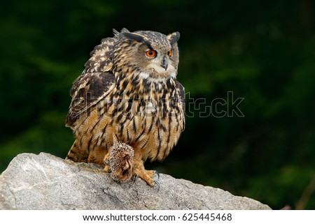 Shutterstock Eurasian Eagle Owl with kill hedgehog in talon, sitting on stone. Wildlife scene from nature. Bird with open wing. Owl with catch animal. Funny image from dark night forest. Animal behaviour, forest.