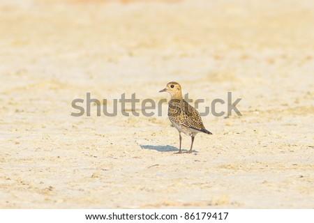 Eurasian Golden Plover / Pluvialis apricaria