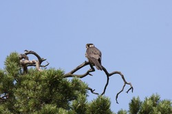 Eurasian hobby sitting on top of pine tree. Mighty beautiful falcon. Bird in wildlife.